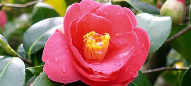 Цветы камелия. Выращиваем как комнатное растение
