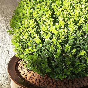 Растения для ленивых. Самшиты