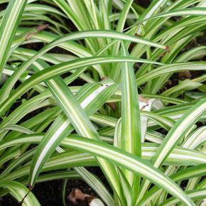 Растения для ленивых. Хлорофитум