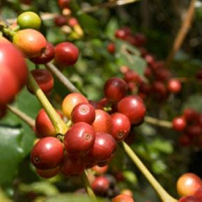 Как вырастить кофе в домашних условиях