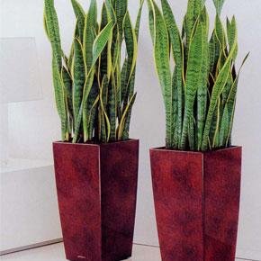 Растение для ленивых. Сансевиерия