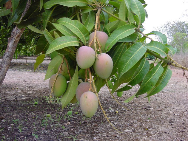 Выращивание манго