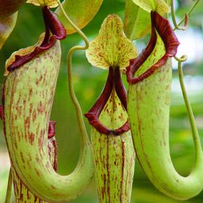 Непентес – растения-мухоловки