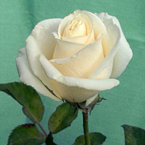 Роза Океан Клер
