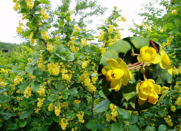 Барбарис цветение