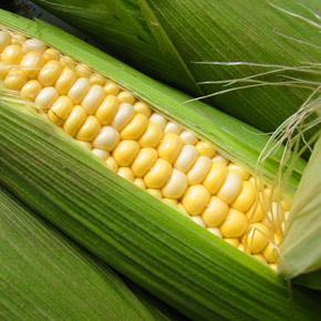Выращивание сладкой кукурузы