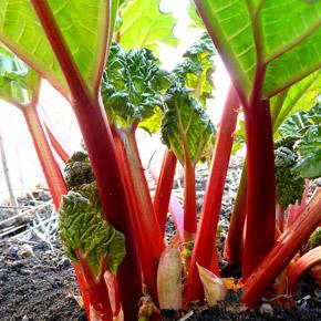 Ревень выращивание