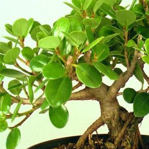 Фикус Микрокарпа. Ficus Microcarpa