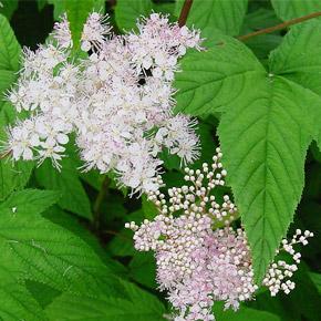 Лабазник, или филипендула. Садово-парковые цветы