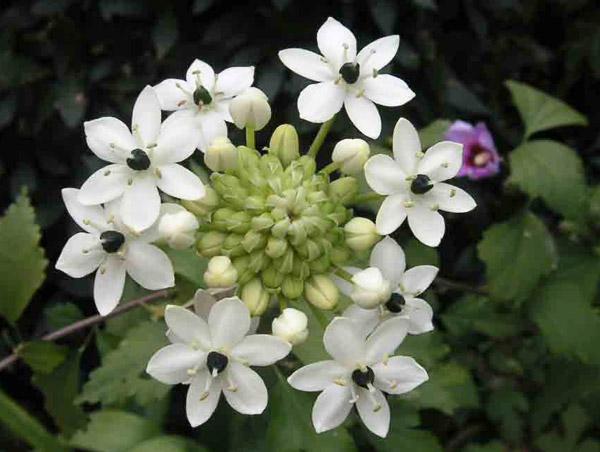 птицемлечник цветок