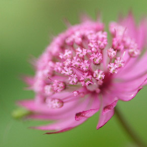Астранция «Руби Клауд»: выращивание и уход