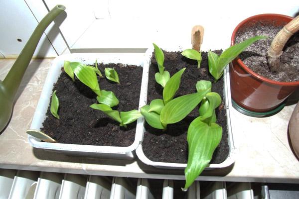 канна растение выращивание