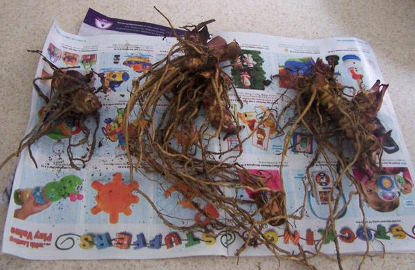 корневища растения Канна