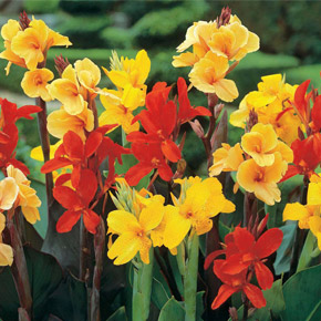 Канна — цветок-тросник. Выращивание и уход