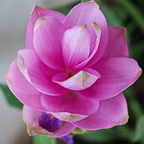 цветок куркума