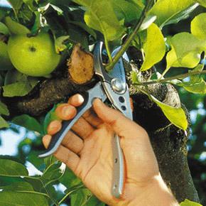 Обрезка ветвей. Омоложение кроны деревьев