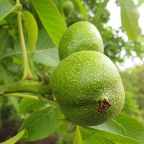 Грецкий орех: посадка, выращивание