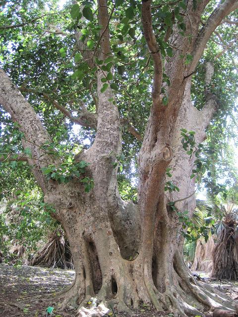 Сикомора дерево