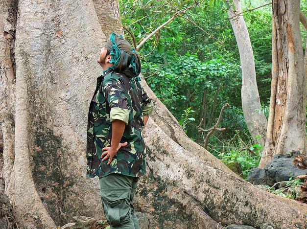 дерево Сикомора