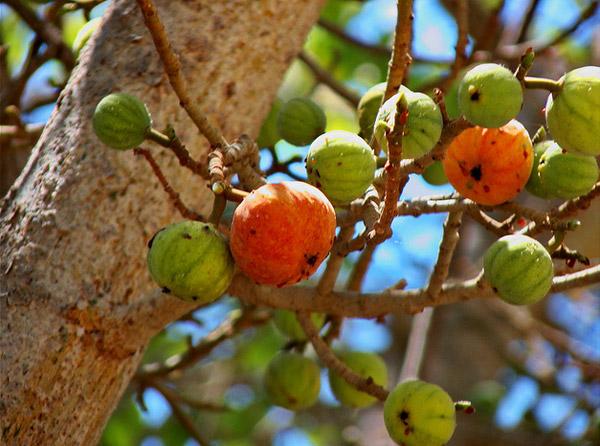 Плод сикоморы