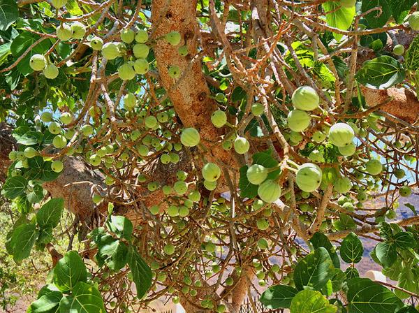 Дерево Сикомора Ficus sycomorus