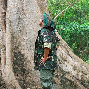 Сикомора — плодовое дерево из рода фикусовых