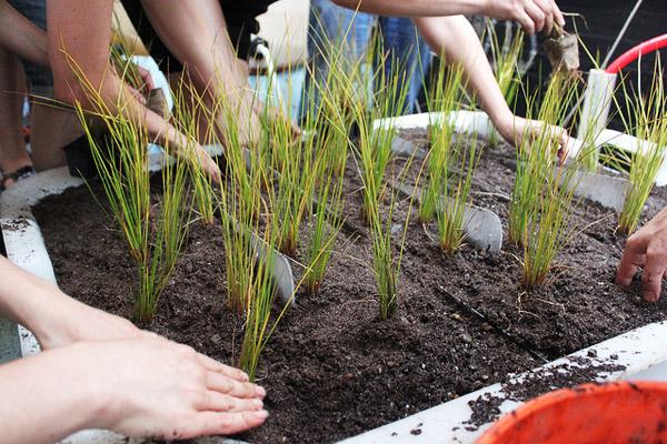 Размножение растения Ситник