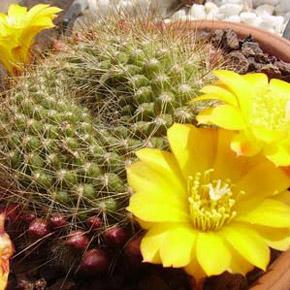 Когда и как разбудить кактусы? Выращивание кактусов