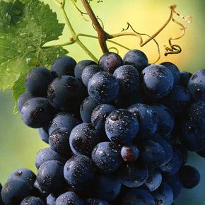 Сорта винограда для Беларуси. Что нужно знать