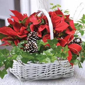 Пуансеттия: рождественская звезда. Выращивание и уход