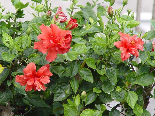 китайская роза гибискус китайский