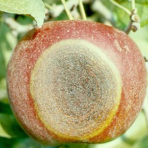 Гниль яблок — меры борьбы