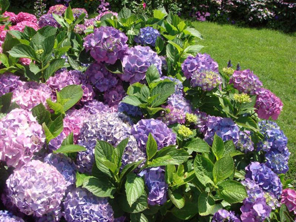 гортензии с голубыми цветками