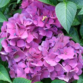 Гортензия — выращивание и уход