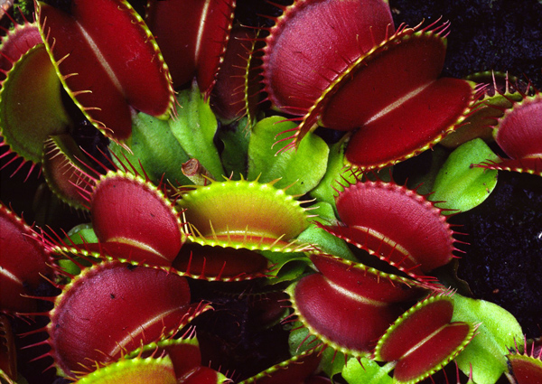 Растение хищник: Венерина мухоловка